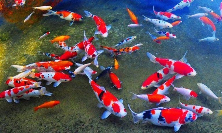Peluang Usaha Budidaya Ikan Hias